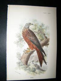 Allen 1890's Antique Bird Print. Kite